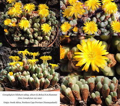 Conophytum bilobum subsp. altum (collage)
