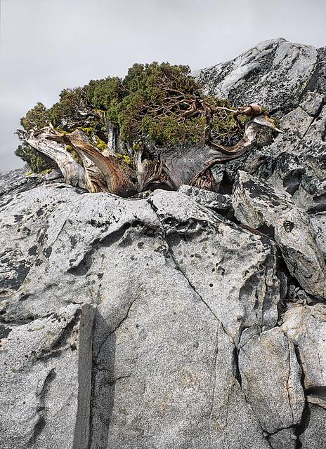 Sierra Juniper Bonsai
