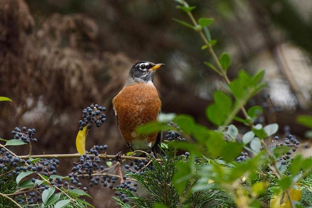 333/365 Robin Among Berries