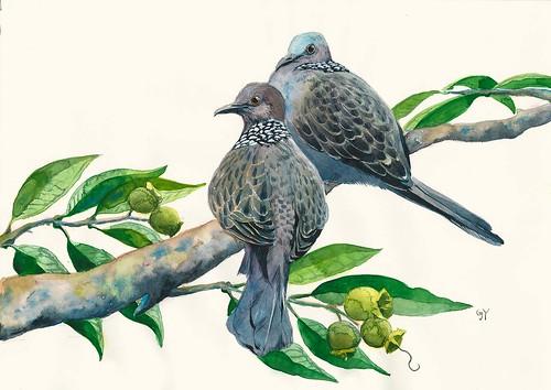 Hong Kong Bird Series: Spotted Dove