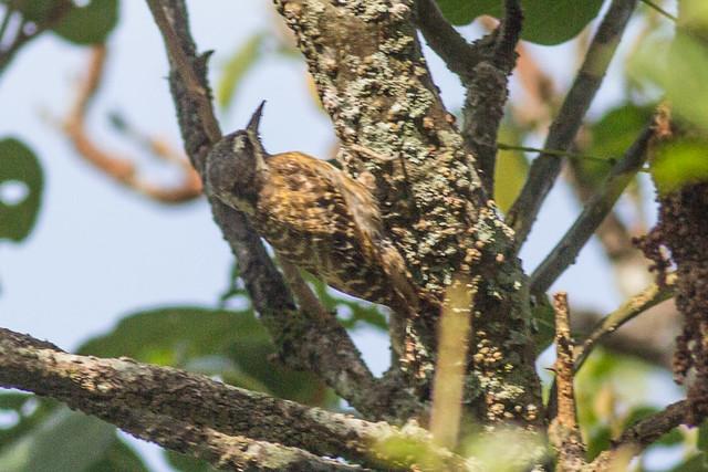 Sulawesi Woodpecker