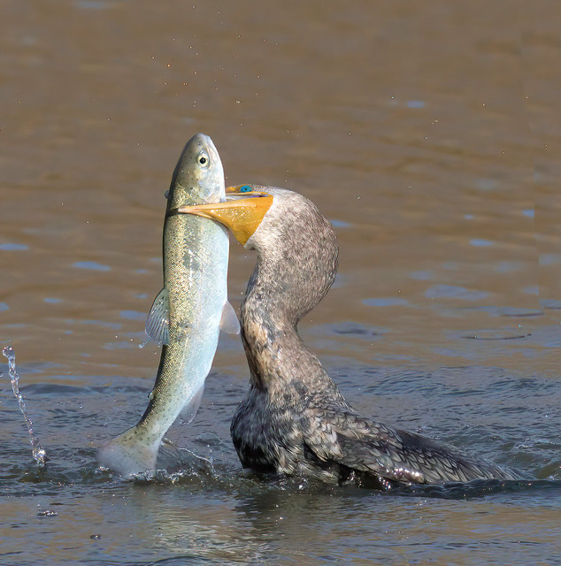 Double-Crested Cormorant with big fish