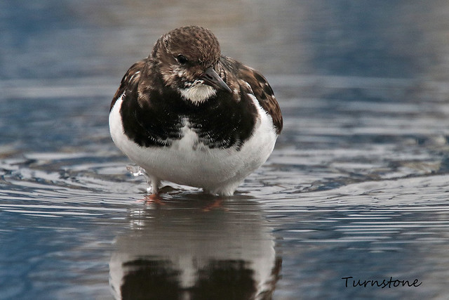 TURNSTONE // ARENARIA INTERPRES (23cm)
