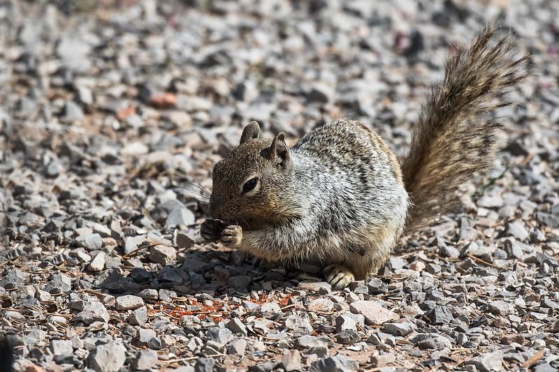 Squirrel-3-7D2-082319