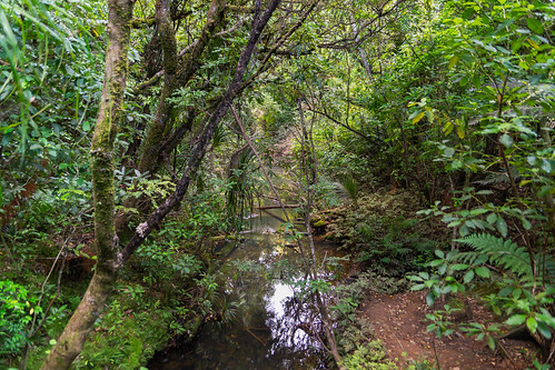 kauriforest northland waipouaforest bush bushstream forest neartanemahuta stream