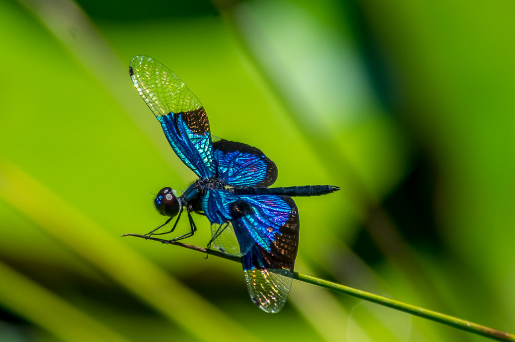 Local Dragonfly