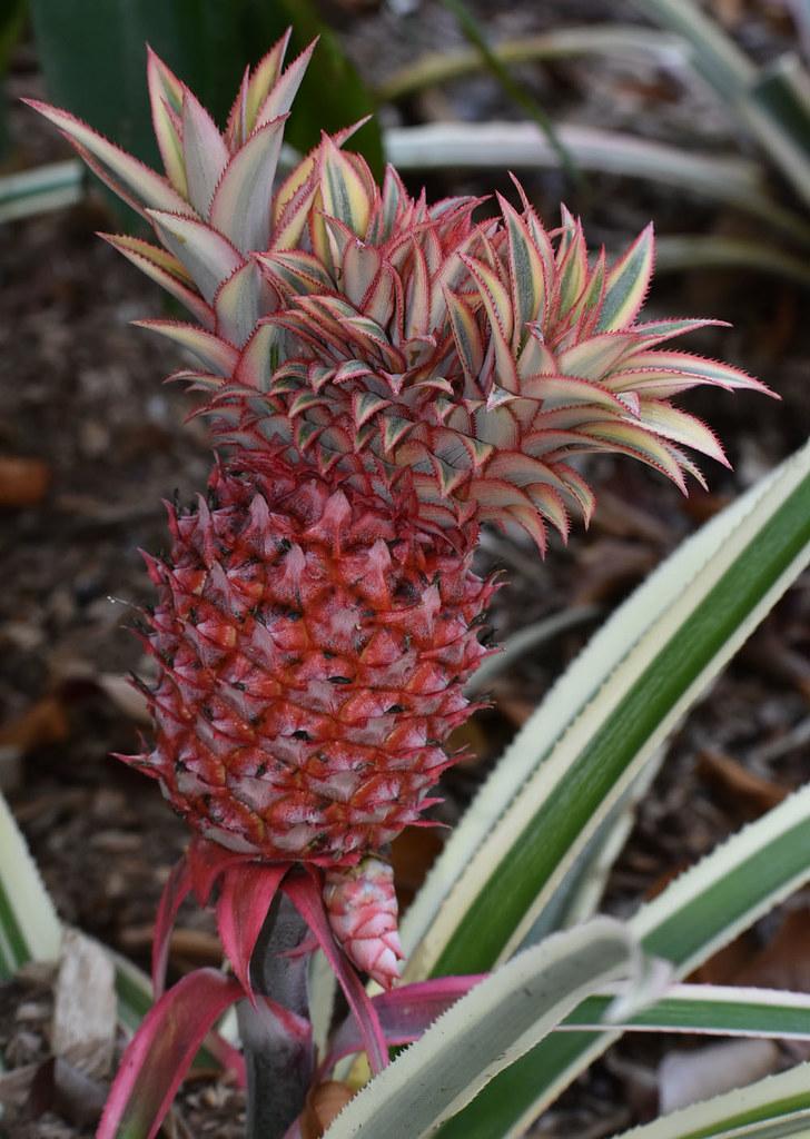 Ananas comosus 'variegatus', Centenary Lakes, Cairns, QLD, 19/11/19