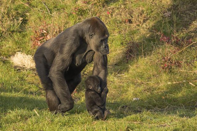 Westelijke Laaglandgorilla - Safaripark Beekse Bergen - Hilvarenbeek