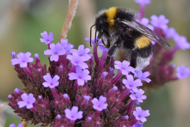 Bourdon (Bombus terrestris) sur une verveine de Buenos-Aires   -  Bumblebee (Bombus terrestris) on purpletop vervain