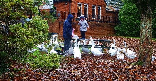 girl feeding geese in the park