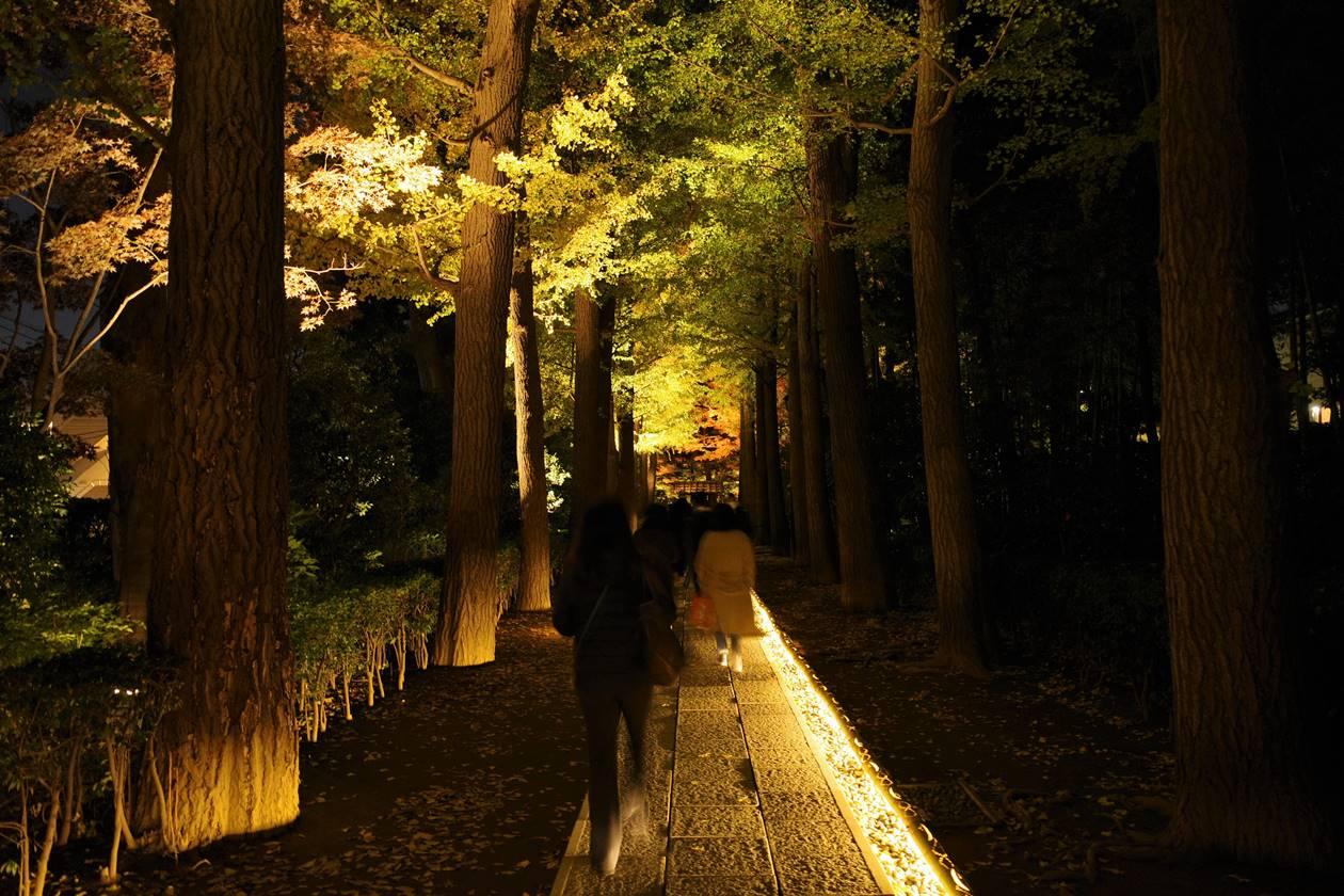 大田黒公園 イチョウ並木のライトアップ
