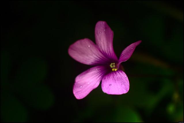 Fleur violette - 334/365