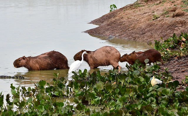 Capybara and Caimans in the Pantanal swamps, Brazil.