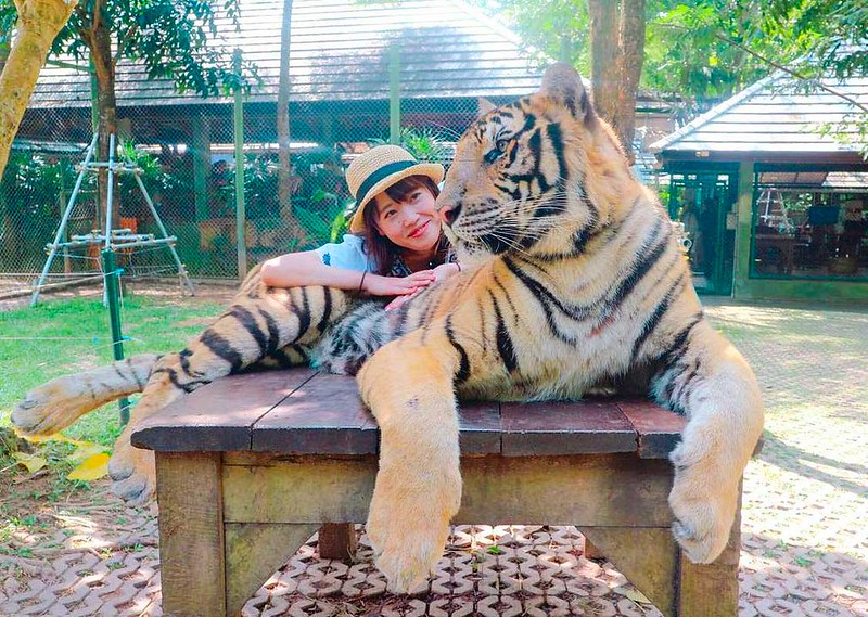 Tiger Kingdom Chiang Mai (Thailand) – Tour Info, Price & Travellers Reviews