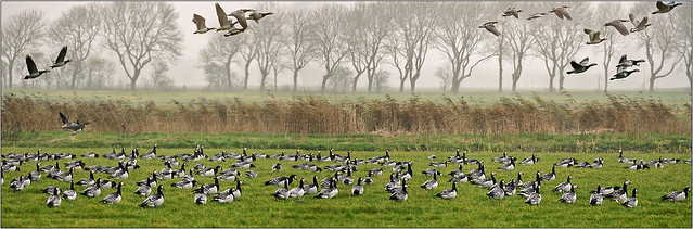 Barnacle geese migration