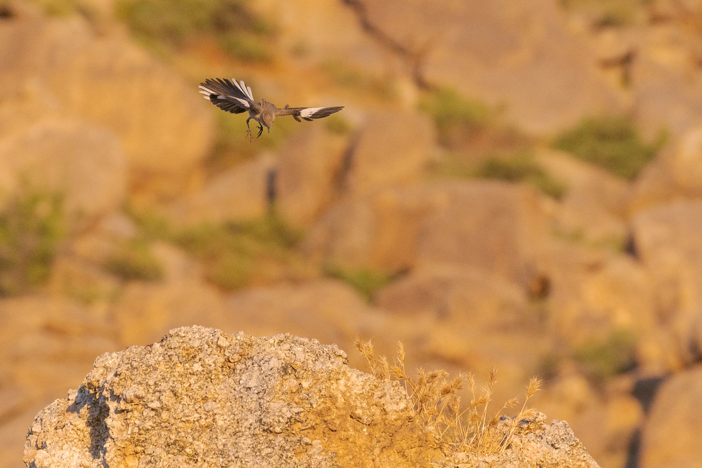 A northern mockingbird flares its wings and tail as it displays from above its favorite perch on the Marcus Landslide Trail in McDowell Sonoran Preserve in Scottsdale, Arizona in June 2019