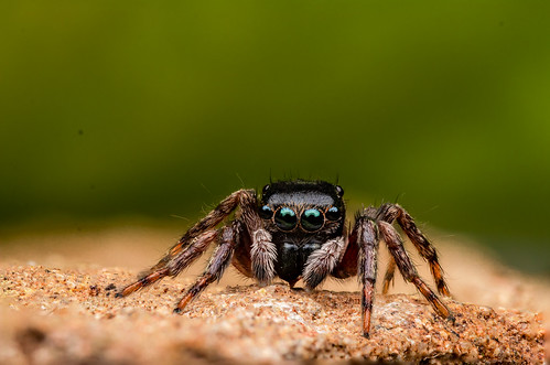 macro canon laowa spider jumpingspider eyes nature