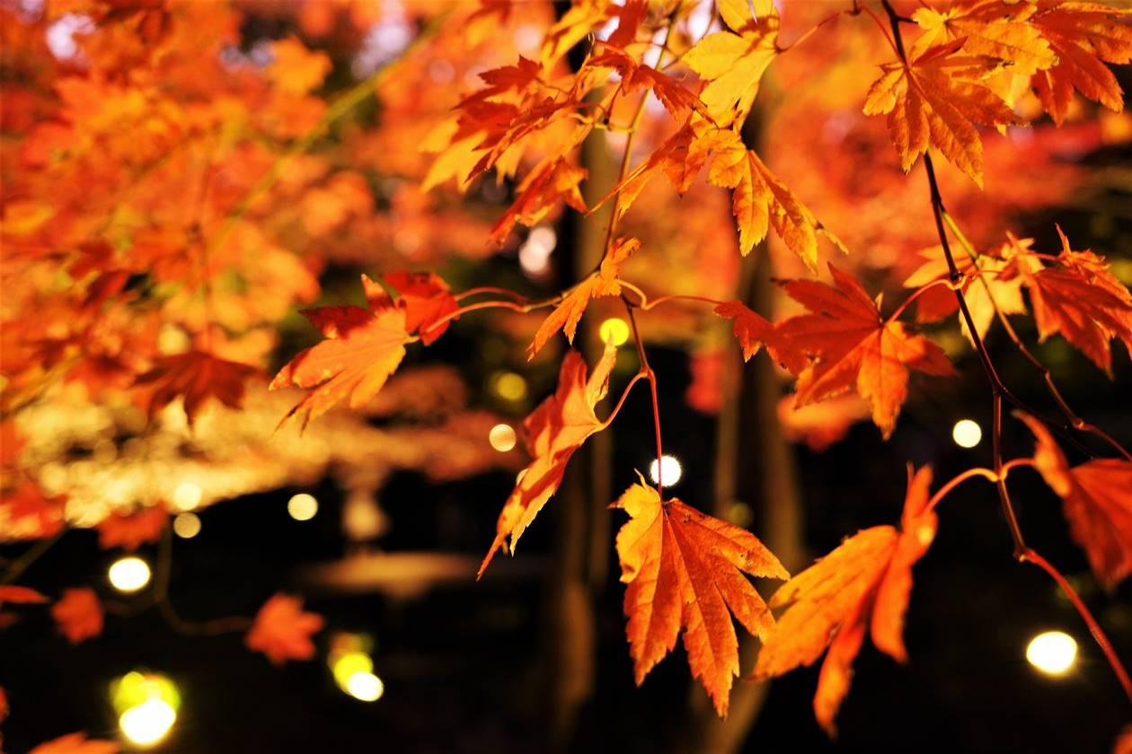 ライトアップされる紅葉
