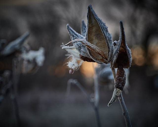 milkweeds, at dawn in frost, 11-23-19 9