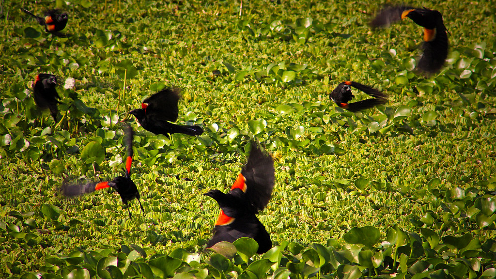 2019.03.09 La Chua Trail Red-winged Blackbirds 1