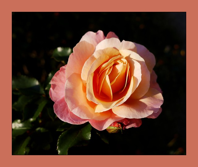 Weekend Rose for Happyness!