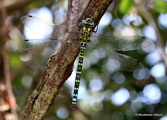 IMG_8975. Southern Hawker (Aeshna cyanea) M