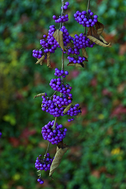 Beautyberries - The Color Purple