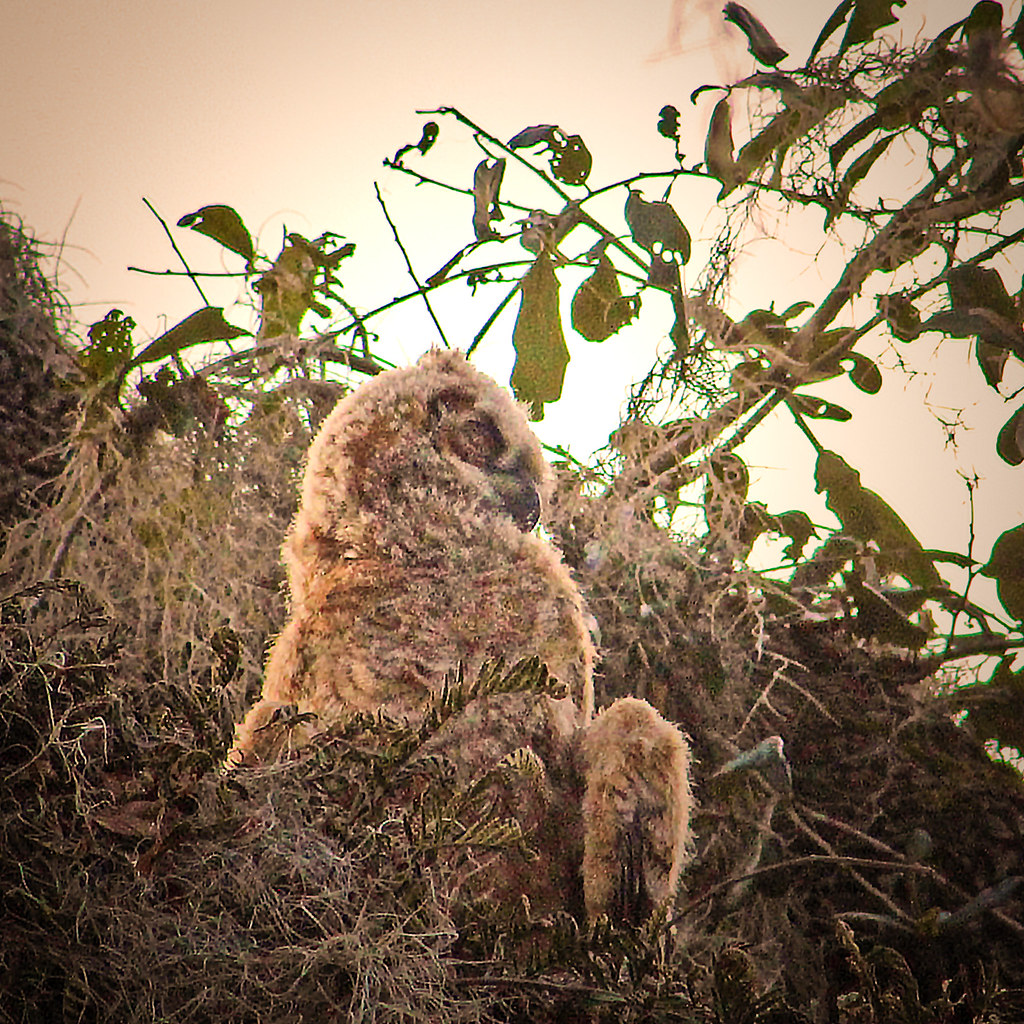 2019.03.09 La Chua Trail Great Horned Owl 2