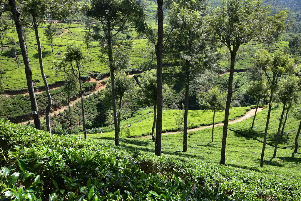 Tea Fields at Pedro Estate
