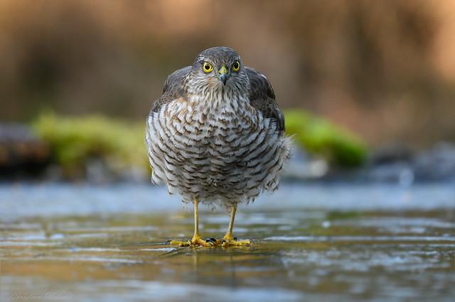 Sperber / Sparrowhawk