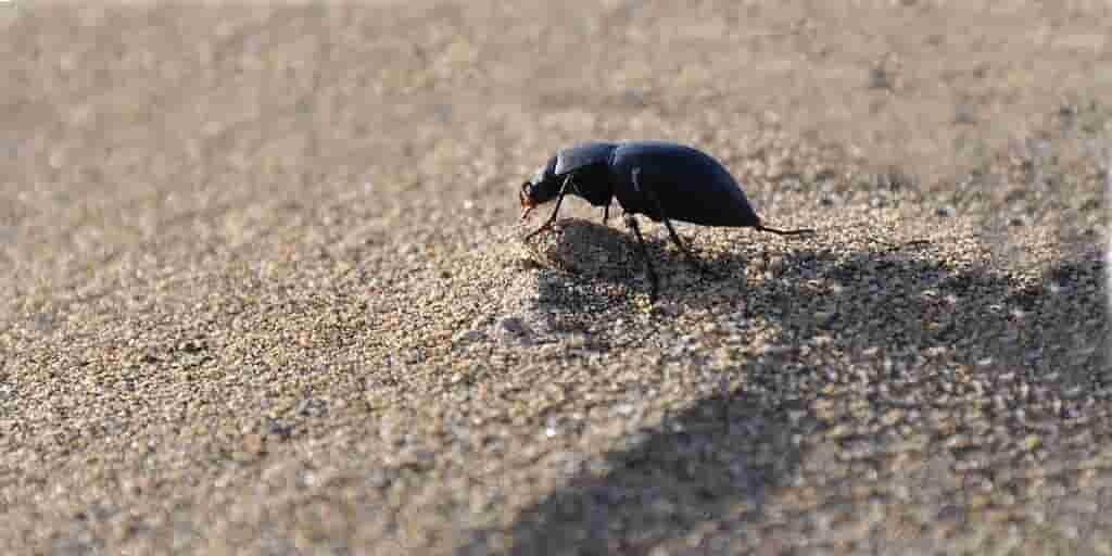 le-dendroctone-du-désert-pourrait-aider-à-récolter-eau-dans-air