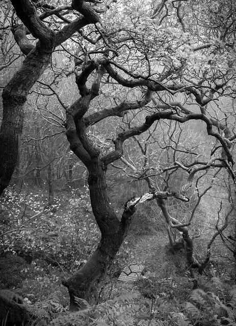 Tortured Oaks