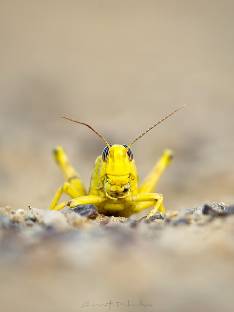 The yellow monster...
