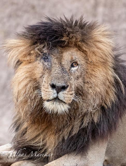 Scar in Masai Mara
