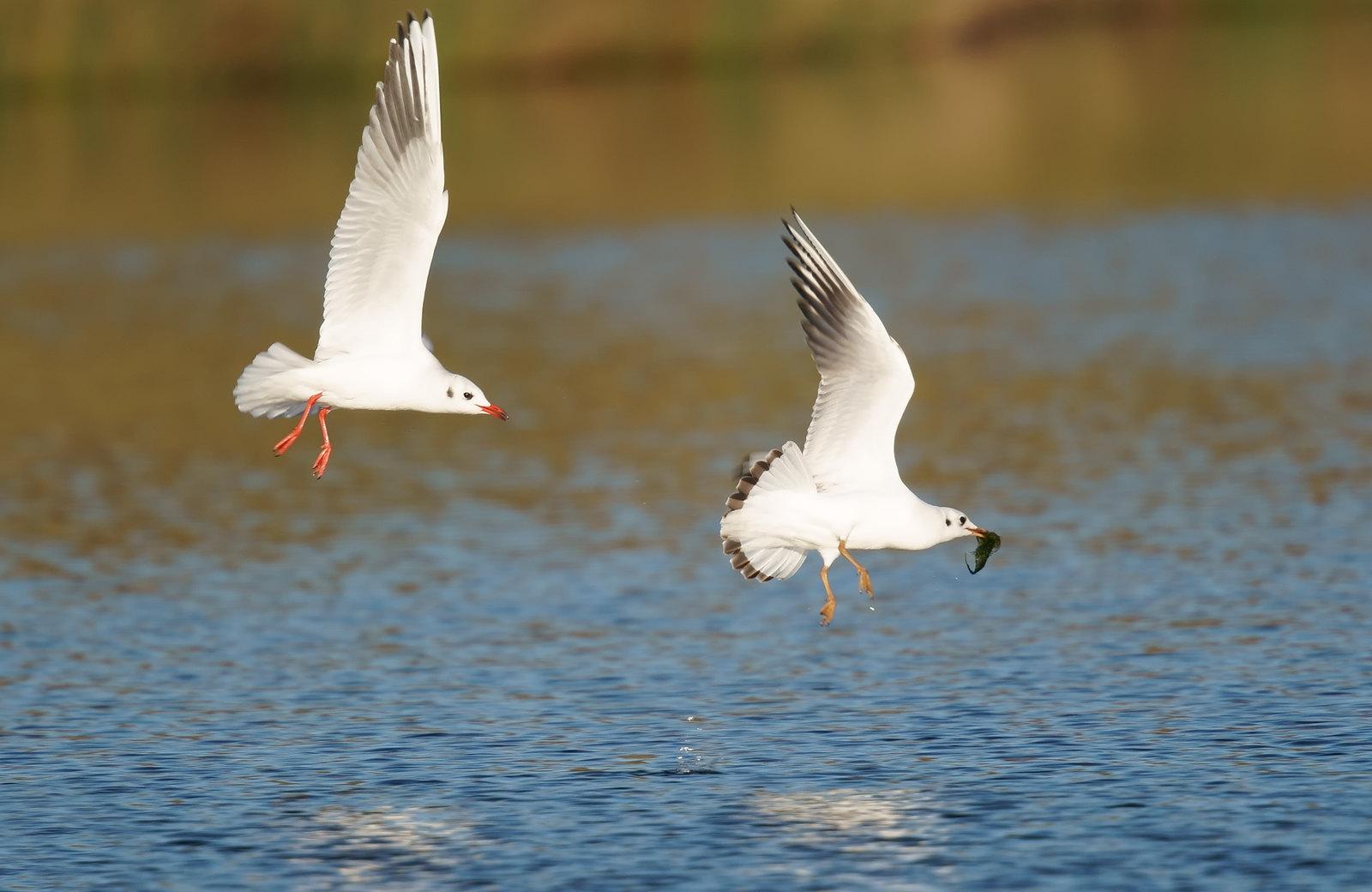Gulls being Gulls