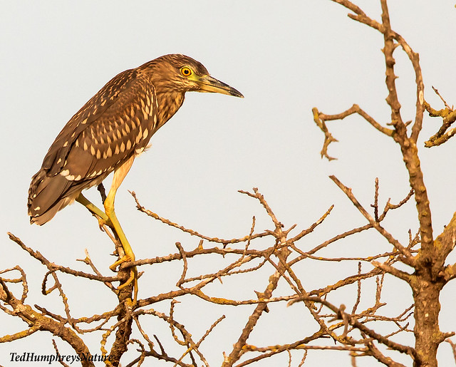 Juvenile Night Heron on Ebro Delta, Spain November 2019