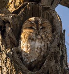 Tawny Owl 1