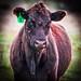 Kentucky Cow