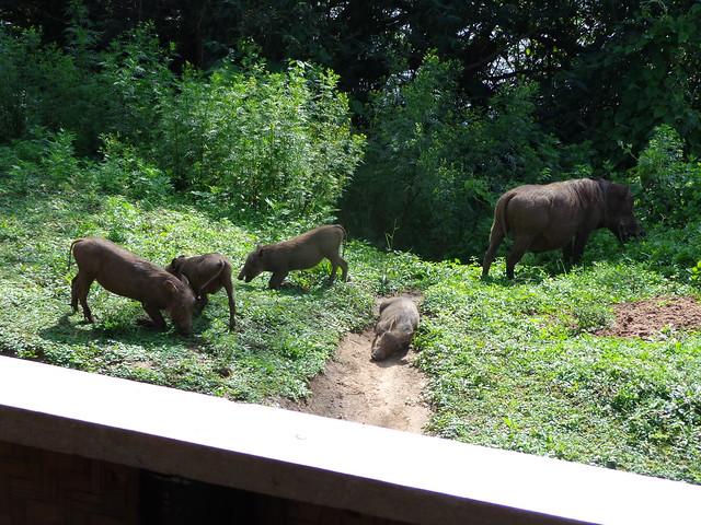 Warthogs # Lake Mburo # Uganda