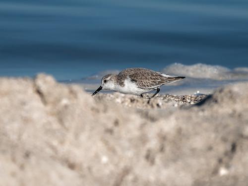 Sanderling through the sand