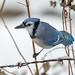 Blue Jay-46125.jpg