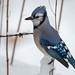 Blue Jay-46150.jpg