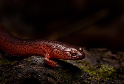 Red Salamander(Pseudotriton ruber)