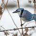 Blue Jay-46125-2.jpg