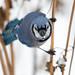 Blue Jay-46111.jpg