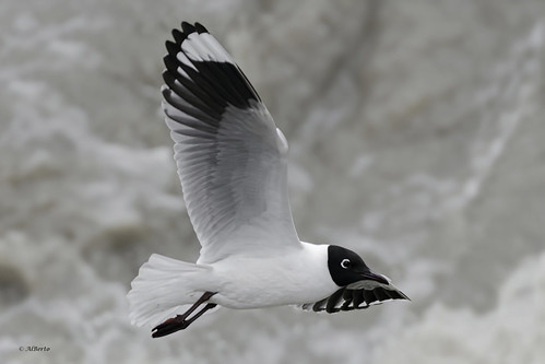 Andean Gull / Mouette des Andes