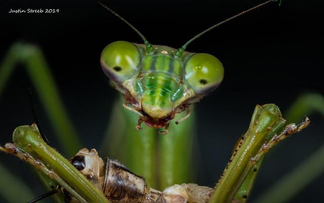 Mantis & Cricket 3