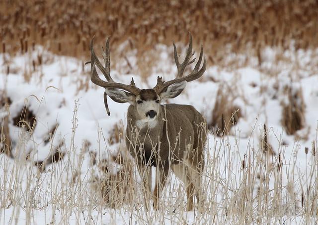 Massive, Drop Tine Mule Deer Buck