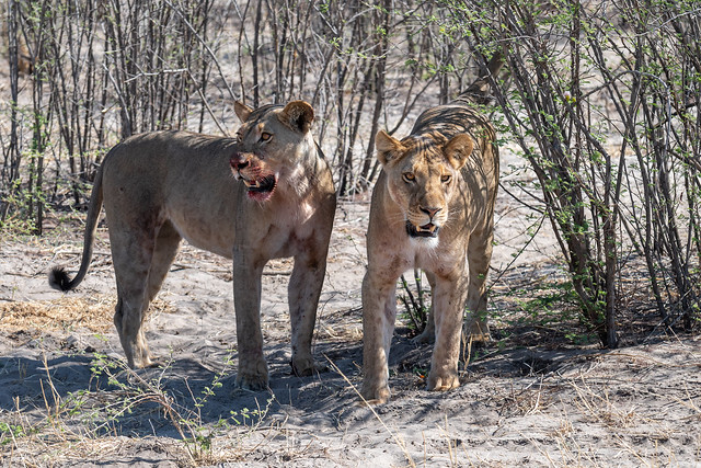 Löwinnen / Lionesses