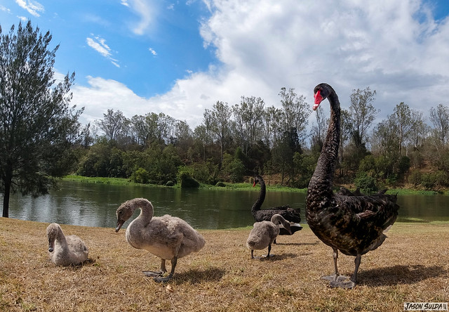 A pair of Black Swans with their cygnets Colleges Crossing Ipswich Queensland Australia.